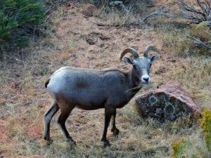 mountain sheep, mammal, animal