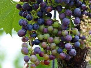 wine, grapes, grapevine